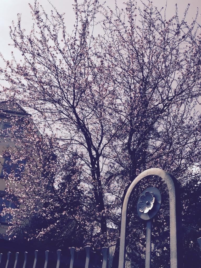 pink blosson tree anjiko