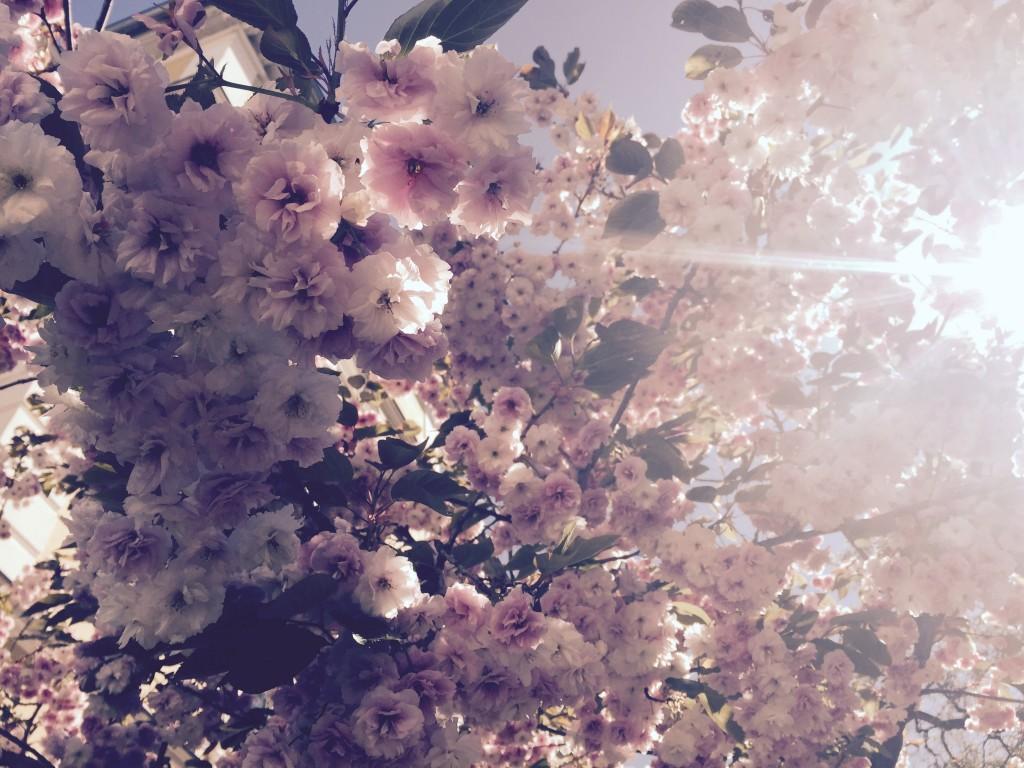rosa blüten anjiko